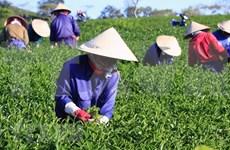 Disminuyen exportaciones de té de Vietnam en primer trimestre
