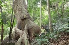 Aumenta cobertura forestal de Vietnam