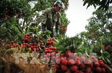 Exportará Vietnam primer lote de lichi fresco a Japón