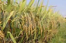 Premier vietnamita da el visto bueno para reanudar exportación de arroz