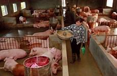 Vietnam por recuperar desarrollo de la ganadería porcina