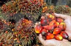 Reducirá producción de aceite de palma de Malasia al cierre de 2020
