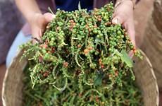 Disminuyen exportaciones de pimienta Kampot de Camboya debido a COVID-19