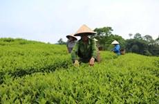 Phu Tho se sitúa en cuarto lugar de Vietnam en área de siembra de té