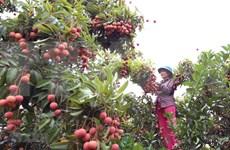 Acelera Vietnam procedimientos para exportación de lichi a Japón