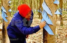 Crecen exportaciones de caucho natural de Camboya pese a crisis del COVID-19