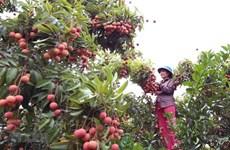 Provincia vietnamita de Bac Giang organizará teleconferencia de promoción comercial de lichi