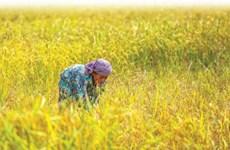 Camboya por mejorar sector arrocero