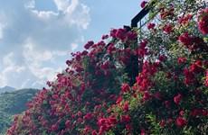Reconocen a valle de rosas en Sapa como el más grande de Vietnam