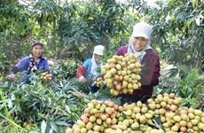 Exporta provincia vietnamita de Hai Duong primer lote de lichi al extranjero