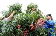 Llegarán expertos japoneses a Vietnam para revisar lotes exportables de lichi