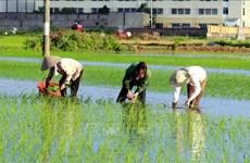 Exportaciones de arroz de Tailandia se encuentran en situación difícil