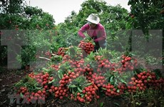 Provincia vietnamita de Bac Giang por promover consumo de lichi