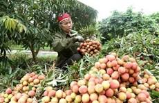 Expertos japoneses llegan a Vietnam para verificar exportación de lichi