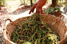 Precio de pimienta camboyana aumenta debido a fuerte demanda de Vietnam