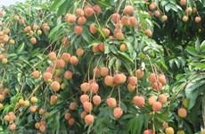 Presentarán lichi vietnamita en Australia a mediados de junio