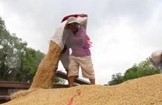 Exportaciones de arroz de Camboya por alcanzar 800 mil toneladas en 2020