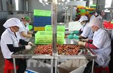 Provincia de Hai Duong exporta lichi a Japón por primera vez