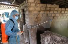 Refuerzan medidas para prevenir la peste porcina africana en 19 provincias vietnamitas
