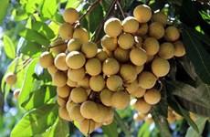 Impulsa provincia vietnamita de Son La exportación de longan
