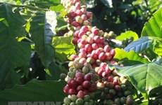 Exportaciones de café de Vietnam superan mil millones de dólares