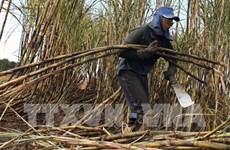 Tailandia busca camino de desarrollo para industria azucarera