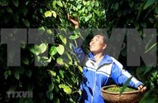 Decenas de contenedores de pimienta vietnamita atascados en Nepal