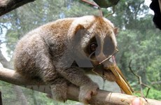 Conservan especies raras de loris en reserva natural de provincia centrovietnamita