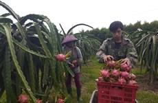 Varios productos agrícolas de provincia de Tien Giang mejoran competitividad