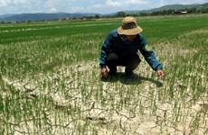 Enfrentan sequía miles de hectáreas de cultivos en región central de Vietnam