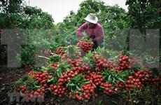 Provincia vietnamita de Bac Giang ingresa 300 millones de dólares por las ventas de lichi