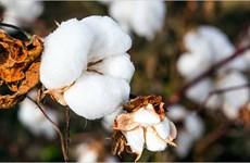 Empresa india busca exportar algodón a Vietnam