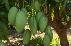 Mangos vietnamitas acaparan atención del mercado australiano