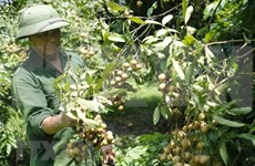 Promueven exportaciones de longan vietnamita a mercado de China