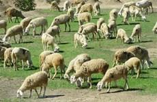 Provincia vietnamita de Ninh Thuan desarrolla producción ovina