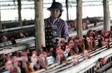 Exportaciones tailandesas de pollo por debajo de objetivo debido a COVID-19