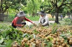 Buscan ampliar oportunidades para la exportación del longan de Vietnam