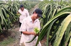 Provincia vietnamita de Long An por ampliar área de cultivo de pitahayas
