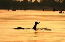 Camboya nomina cuatro zonas de conservación de delfines a la lista de la UNESCO
