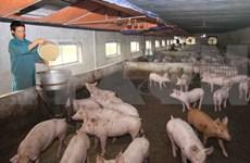 Reportan brotes de la peste porcina africana en provincia vietnamita de Ca Mau