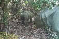 Captan imágenes de dos rinocerontes en amenaza de extinción en Indonesia