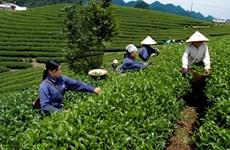 Provincia vietnamita de Phu Tho aspira a convertir té en alimento agrícola clave