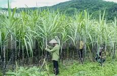 Vietnam inicia investigación antidumping al azúcar de caña de Tailandia