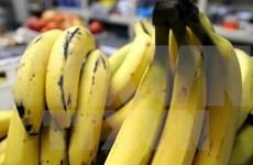 Exportaciones de plátano de Camboya registran fuerte aumento