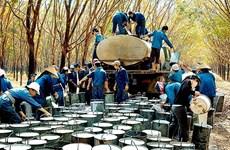 Aumenta valor de exportación de caucho de Vietnam