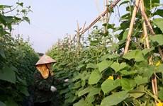 Sector agrícola aporta significativamente al crecimiento de la provincia de Vinh Phuc