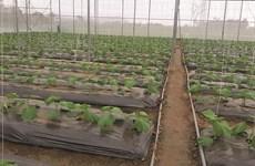Provincia vietnamita de Vinh Phuc promueve agricultura con altas tecnologías