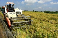 Exportaciones de arroz vietnamita caen en volumen pero aún aumentan de valor