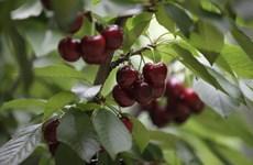 Vietnamitas tendrán la oportunidad de degustar cerezas chilenas en tiempo venidero