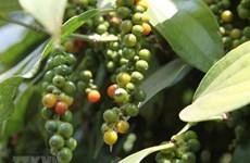 Vietnam con señales positivas en ventas de pimienta al exterior